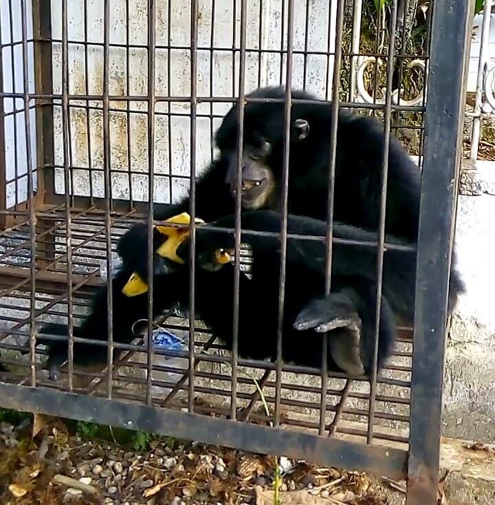 memberi makan monyet yang kelaparan